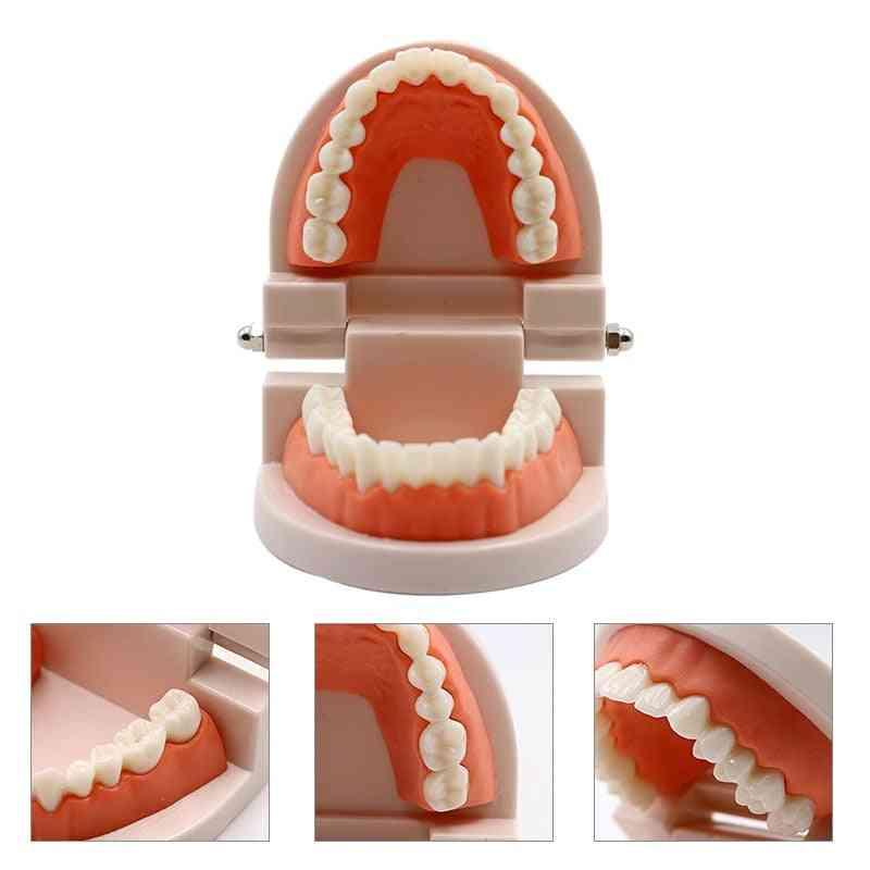 Typodont Demonstration Dentist Teaching Training Model