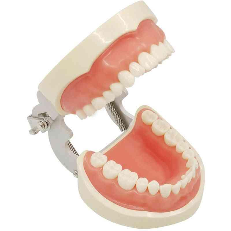 32 Removable Teeth Model Dental Teeth Typodont Model For Dental Oral Teaching Reeth