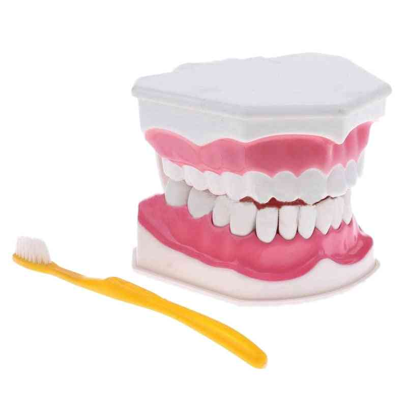 Teeth Model And Toothbrush With High-grade Teeth Teaching Model (white)
