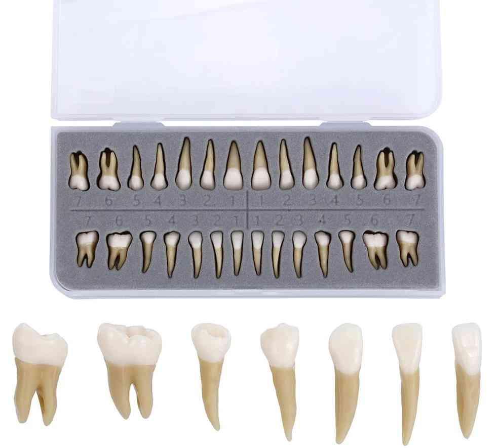 Dental Implant Dentist Practice Product Dental Teeth Model