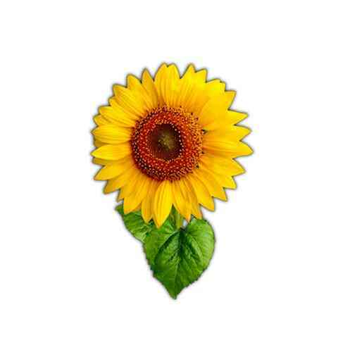 Vibrant Sunflower Magnet