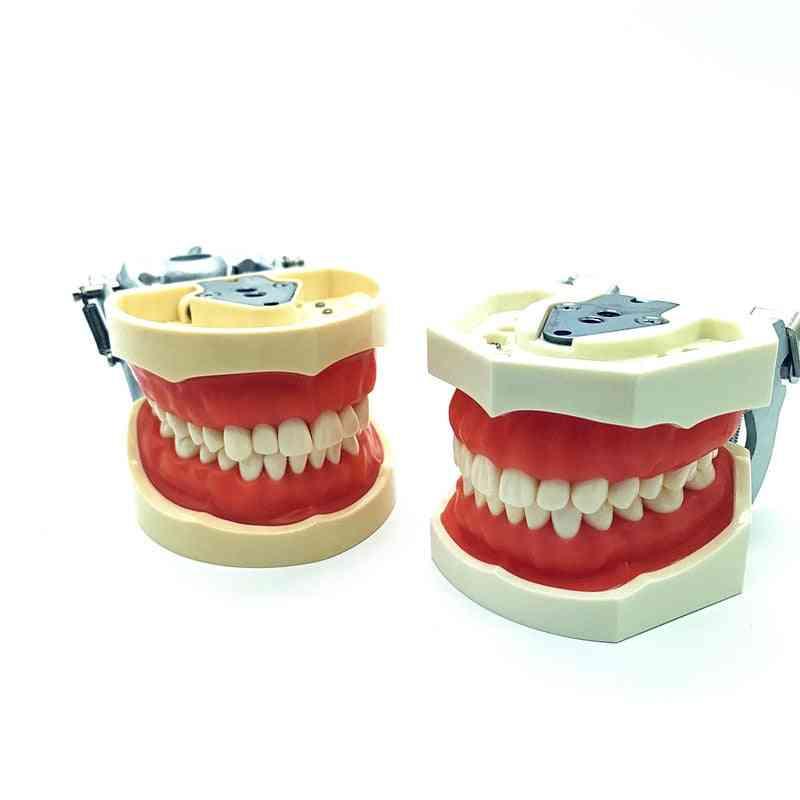 Phantom Head Removable Teeth Model