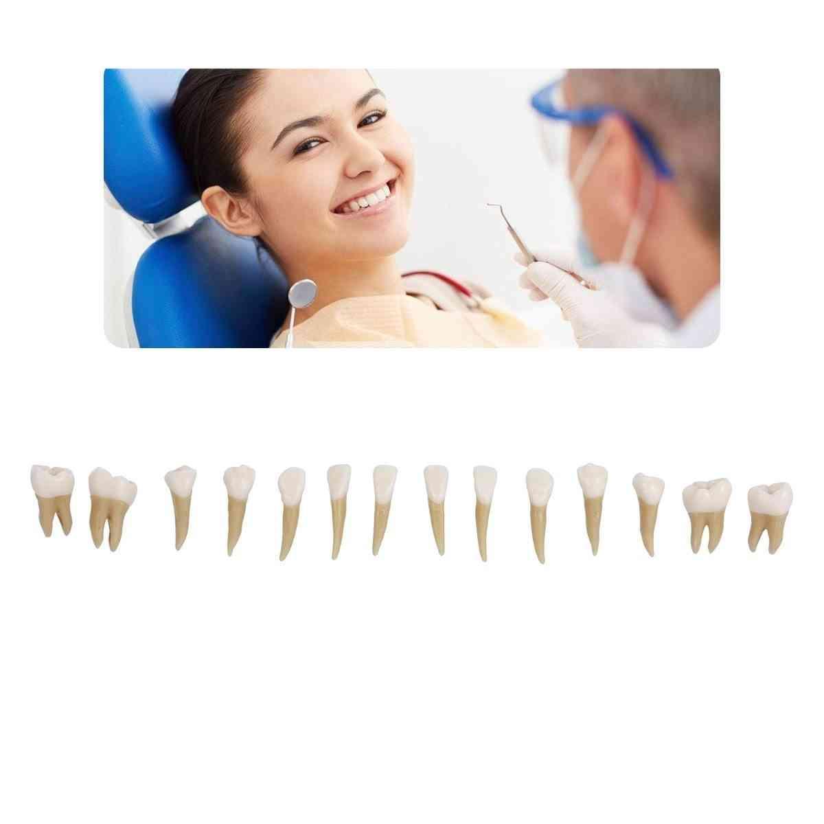 Permanent Teeth Dental Model