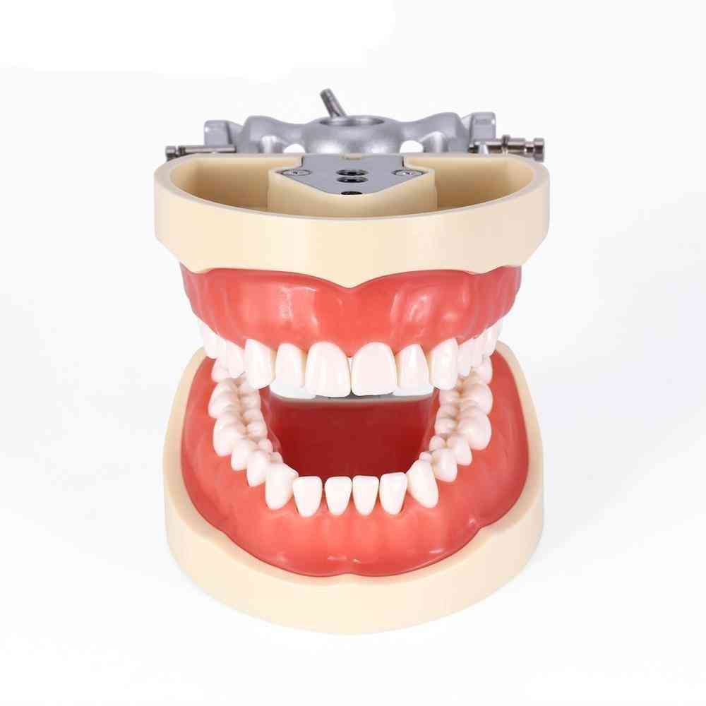 Dental Typodont Teeth Model