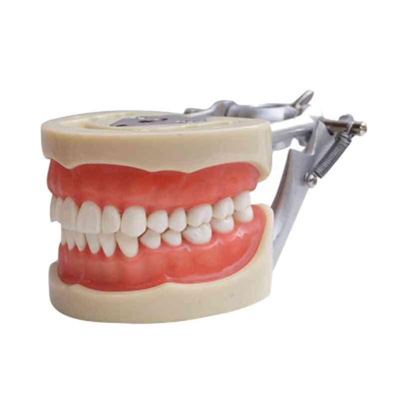 Dentist To Communicate With Patients Standard Teeth Models