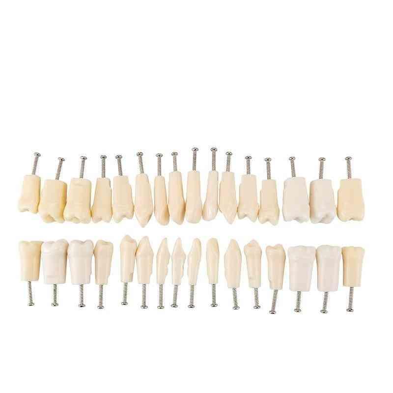 Dental Teeth Model Gum & Teaching Model Standard Dental Typodont Model